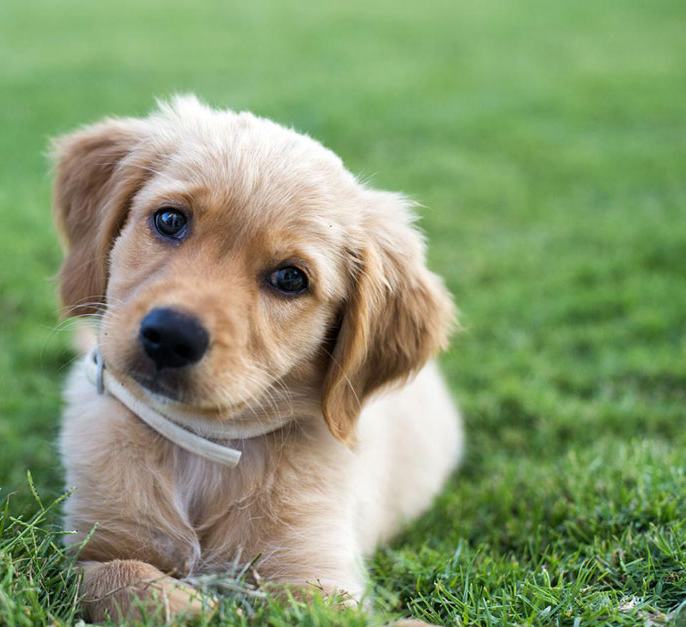 Golden retriever puppy looking winsomely at the camera